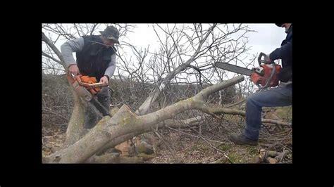 zid film from thailand walnut tree felling with zid tajga 245 oleo mac 937