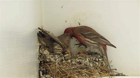 house finch food 100 feeding finches backyard these black cheek and