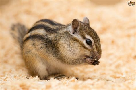 about pet you considered keeping chipmunks as pets pets4homes