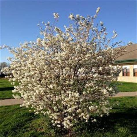 onlineplantcenter 5 gal white flowering magnolia tree