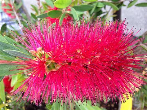 fiori di bach test kinesiologico in armonia irene maurizi i fiori australiani