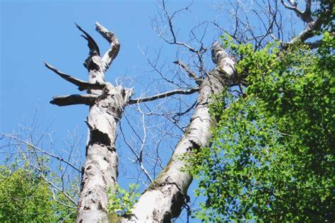 kleine bäume vorgarten 370 b 228 ume mit kugelf 246 rmiger krone kugelbaum f r kleinen