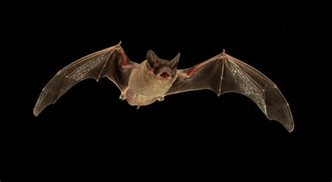 bats send jamming signals to steal rivals meals
