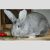 Giant White Rabbit