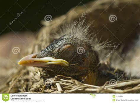 macro sleeping baby robin stock image image 11140891