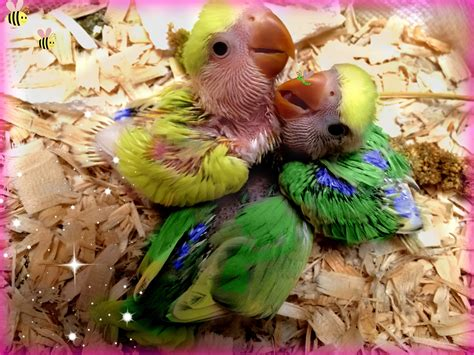 how to hand feed baby lovebirds youtube