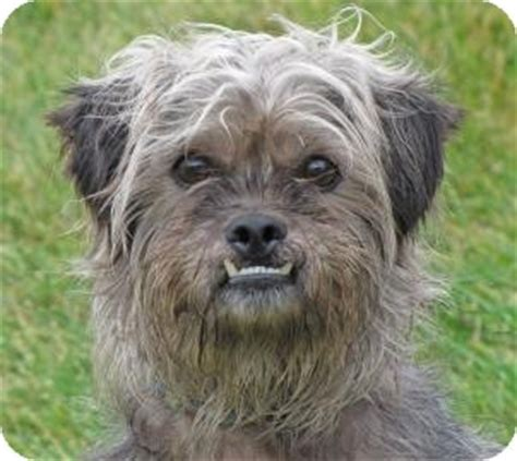 yorkie shih tzu mix for adoption yorkie shih tzu mix yorkie chihuahua mix terriers breeds picture