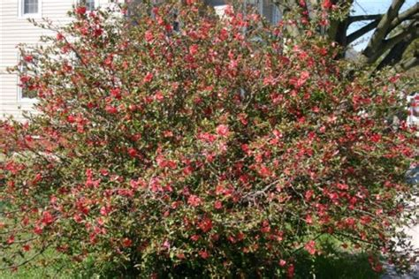 japanese flowering shrubs japanese flowering quince chaenomeles japonica
