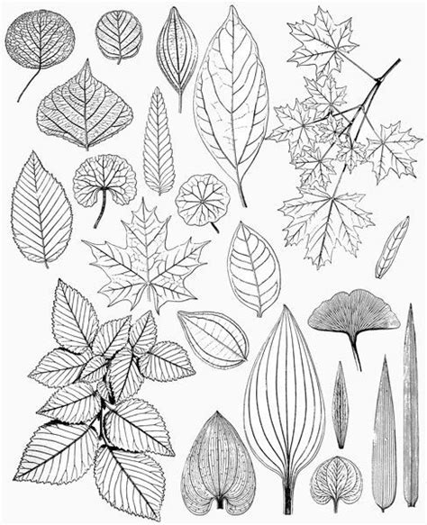 leaf collage coloring page leaves leaf drawings victorian nature illustrations