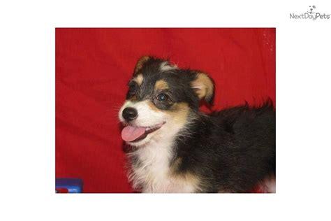 corgipoo puppies for sale meet blaze a corgi pembroke puppy for sale for 300 corgi poo pembroke