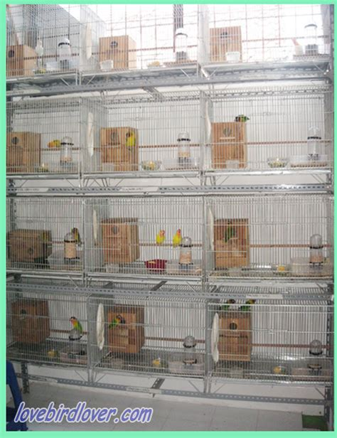 Glodok Lb By A D Bird berternak lovebird dengan kandang koloni