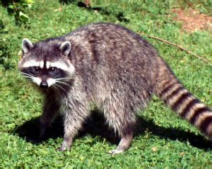 get rid of raccoons in my yard or landscaping