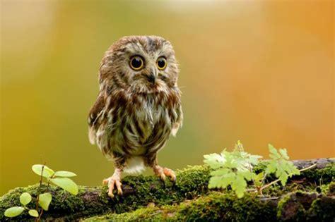 cute baby owl 1funny com
