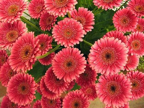 imagenes flores gerberas flores mexico las gerberas