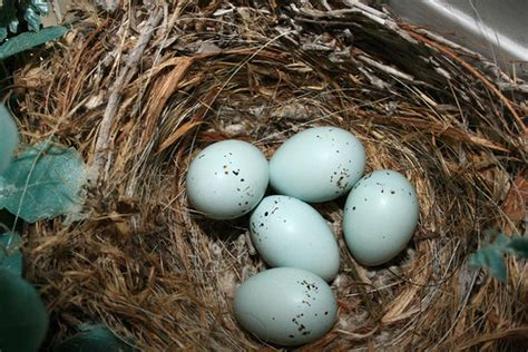 house finch eggs color purple finch eggs day 10 when will they hatch some