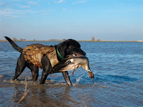 duck hunt duck mendota wildlife area fish