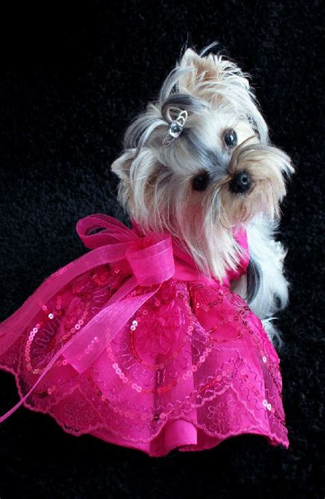 yorkie fashion the world s catalog of ideas