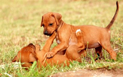 rhodesian ridgeback mix puppies rhodesian ridgeback rhodesian ridgeback pet insurance breed info