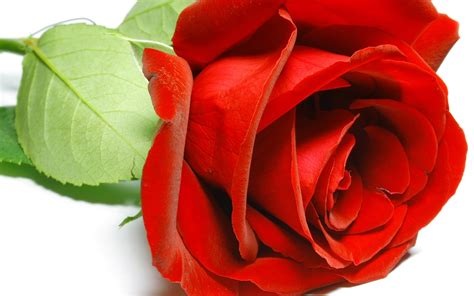 wallpaper flower rose love hd red rose wallpapers pictures images