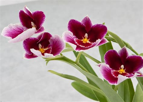 pics for gt miltonia orchid