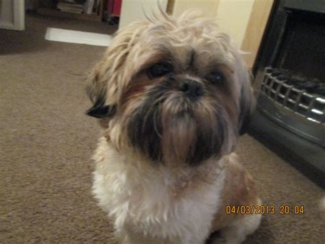 shih tzu maltese breed shih tzu puppy for sale northton northtonshire pets4homes