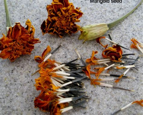 cara menanam bunga marigold dari biji bibitbunga