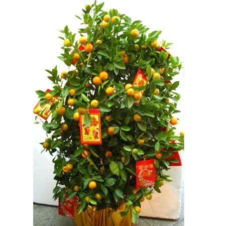 kumquat trees new year lunar new year essential kumquat plant travel with matey