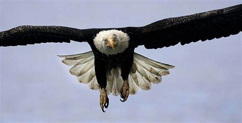 Flying Bald Eagle Front View   Motorcycle Review and Galleries