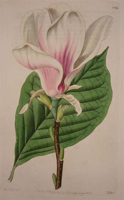 printable magnolia flowers 208 best ideas about printable flowers on pinterest