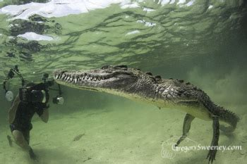 scuba with american crocodiles in chinchorro, mexico