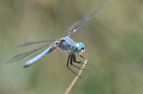 Common Dragonflies Of California the dragonfly whisperer the blue dashers are back