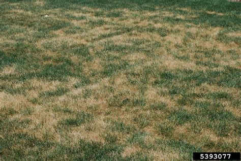 Put Grass In Backyard Danna Hoover Dead Grass Is A Pain To Look At