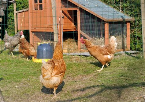 The Backyard Chicken Backyard Chickens 5 Best Breeds For Egg Layers