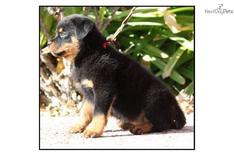 german blockhead rottweiler for sale blockhead rottweiler puppies for free breeds picture