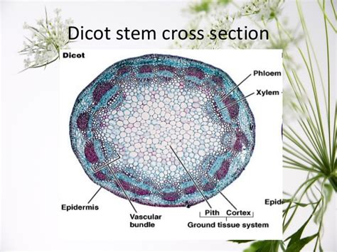 cross section of dicot stem plant stem cross section