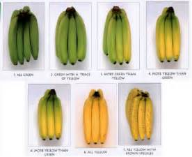 what color is a banana color chart of banana fruits in various stages