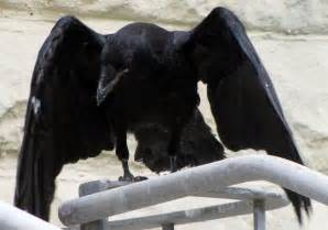raven spirit animal totems