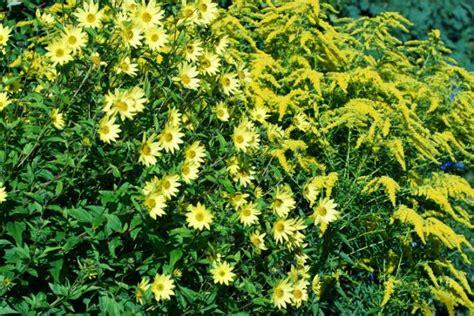 stauden sonnenblume pflege sonnenblumen 187 pflanzen pflegen vermehren und mehr