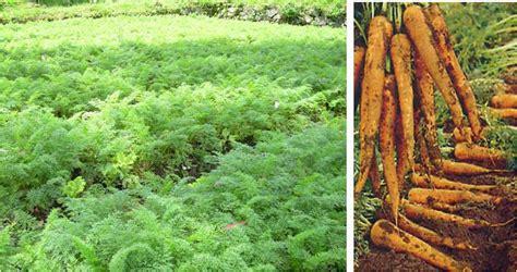 Benih Tanaman Wortel budidaya wortel tanam sayuran