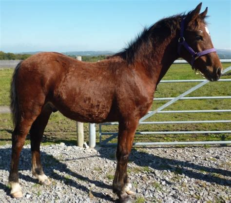 welsh section a foals for sale top quality welsh cob gelding foal ammanford