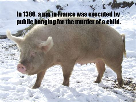 new year facts about the pig pig facts