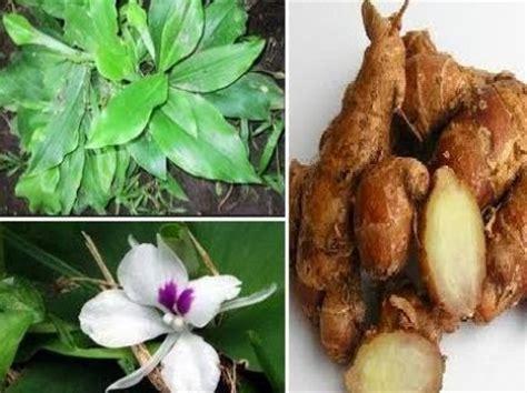 Minyak Atsiri Kencur gema herbal medika manfaat kencur bagi kesehatan tubuh
