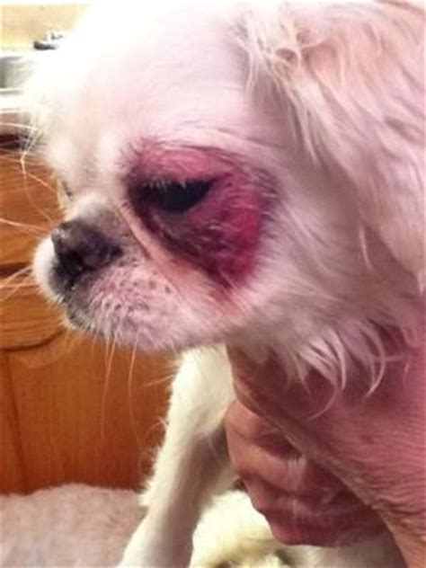 skin irritation on dogs skin irritation around eye secondary rash on thigh