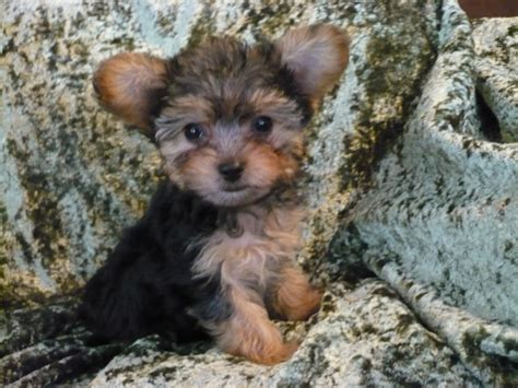 yorkie poo puppies images yorkie poo puppy pics dogs our friends photo