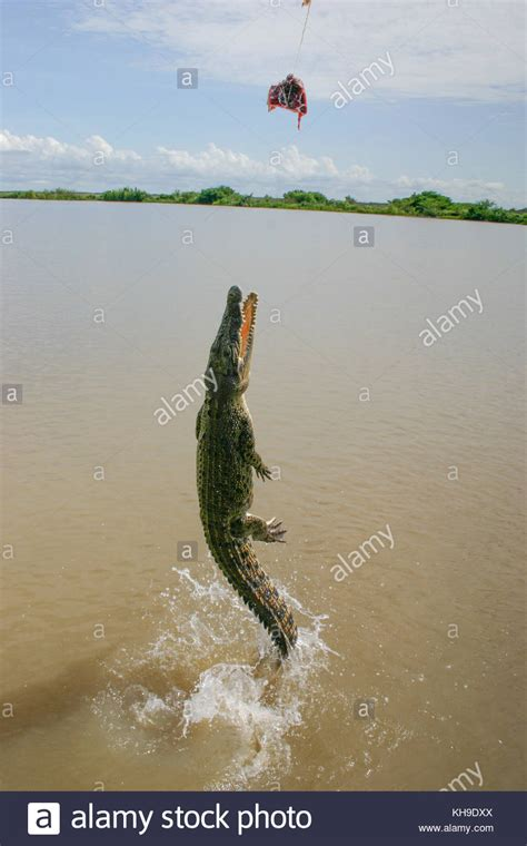 crocodile boat tours darwin jumping crocodile darwin stock photos jumping crocodile