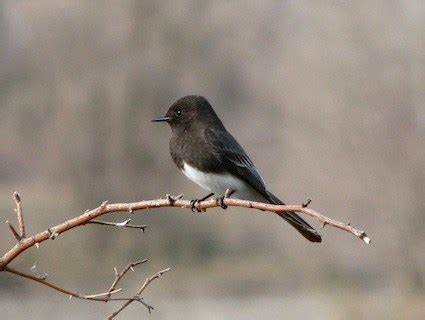 black phoebe identification all about birds cornell