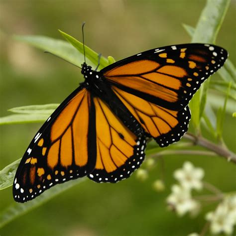 The Monarch Butterfly butterfly monarch butterflies facts butterfly