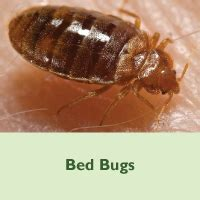 bed bugs michigan emerging disease issues bed bugs head lice and scabies