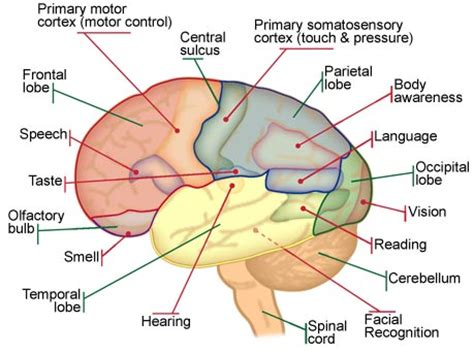Diagram of the lobes of the brain with their associated functions