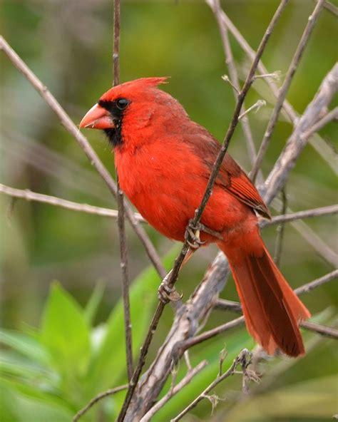 17 images about birds cardinaidae cardinals grosbeaks